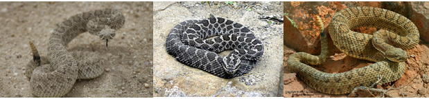 images of three types of rattlesnakes