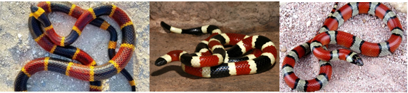 images of three coral snakes